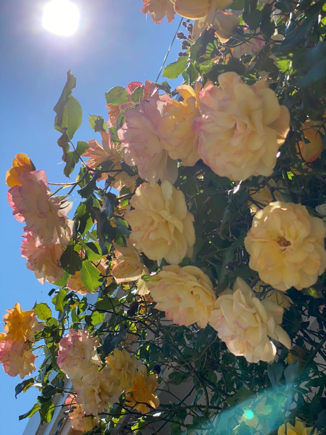 バラが咲いた バラが咲いた~♪