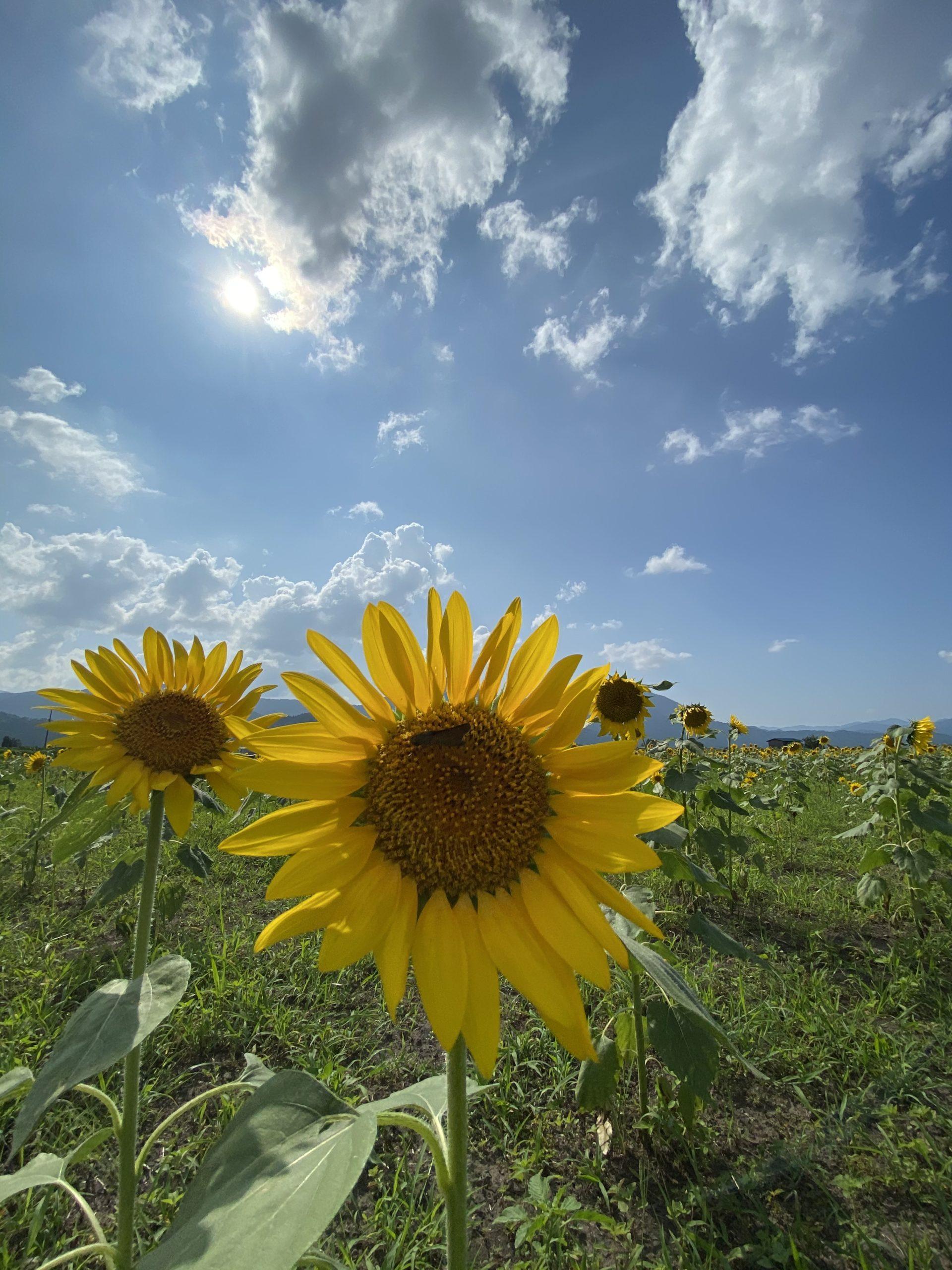 大野の向日葵畑